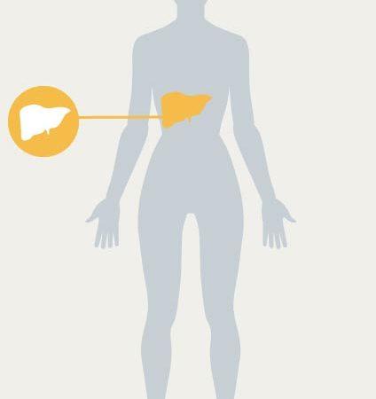 Illustration eines Körpers wobei die Leber gelb hervorgehoben ist.