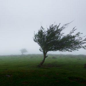 Ein Baum in nebliger Natur vom Winde verweht.