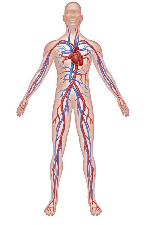 Grafik von Mensch mit Arterien und Venen