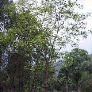 Baum Mombinpflaume