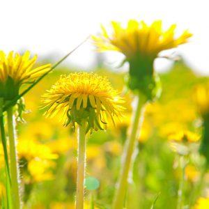 Loewenzahn ist eine Heilpflanze aus der Tibetischen Medizin zur Aktivierung der Leber und des Stoffwechsels.