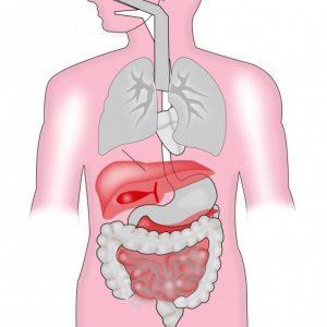 Anatomische Illustratione der inneren Organe in der die Leber und die Verdauungsorgane rot eingefärbt sind.